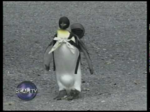VIDEO: Jaapanis elab koduloomana pingviin, kes käib iga päev seljakotiga kalapoes kala järel