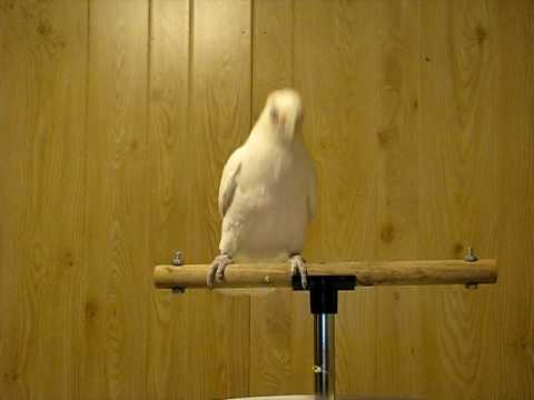 VIDEO: Tantsiv papagoi