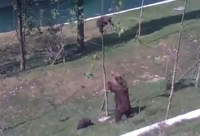 VIDEO: Vaata, kuidas karu päästab oma väikest karupoega - järjekindlus viib sihile