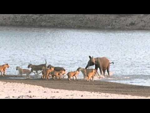 VIDEO: Noort elevanti ründab 14 lõvi