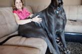 FOTOD: 8 koera, kes ei saa aru, kui suured nad on