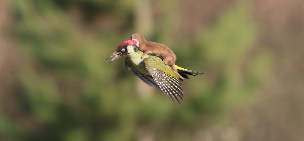 USKUMATU FOTO:  Nagu muinasjutus - nirk lendas roherähni seljas