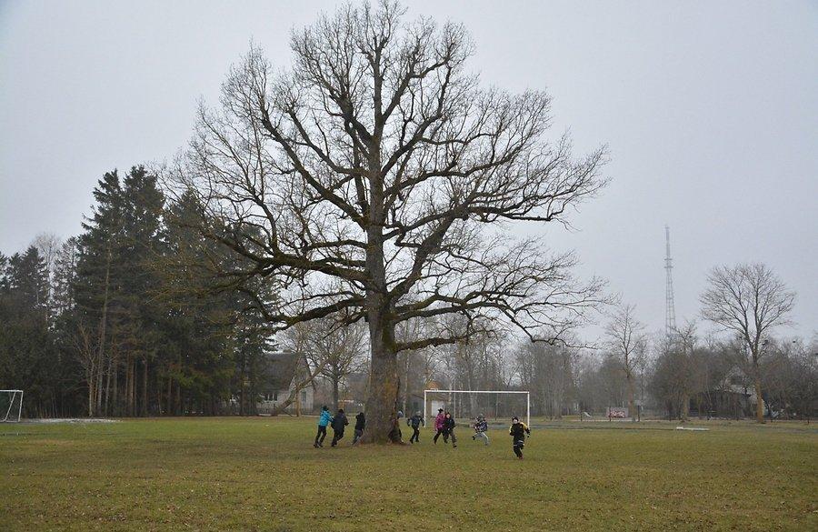 Orissaare tamm valiti Euroopa aasta puuks!