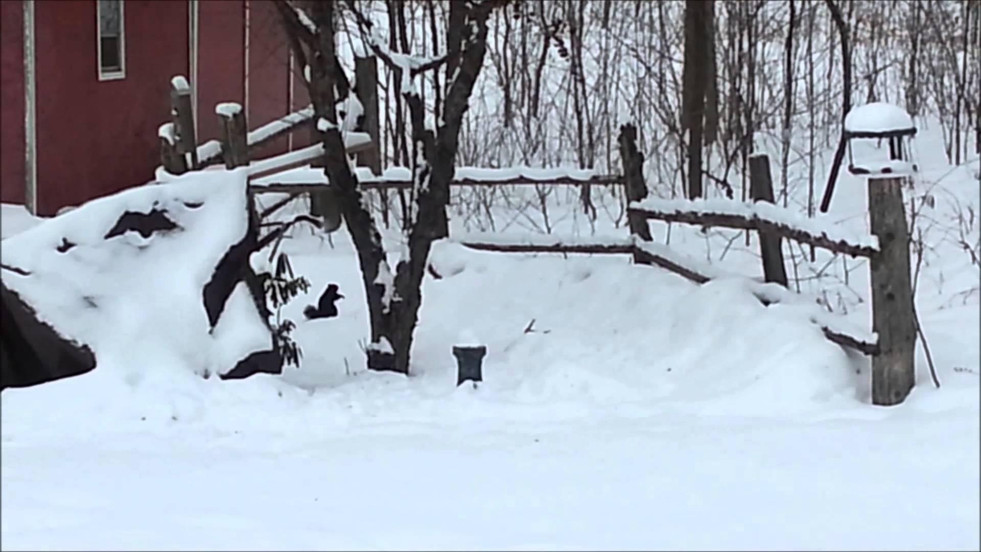 VIDEO: Eriti naljakas! Orav jäi purju käärinud õunte söömisest - vaata, kuidas ta lume sees hüpata üritab