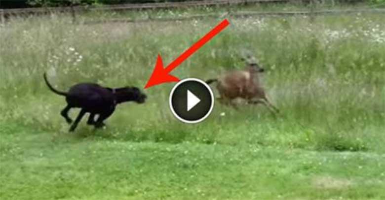 VIDEO:  Sa ei usu oma silmi, kui näed, mida see koer selle hirvega teeb
