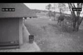 VIDEO:  Valvekaamera jäädvustas elevanti tegemas midagi sellist, millele keegi ei oska seletust anda