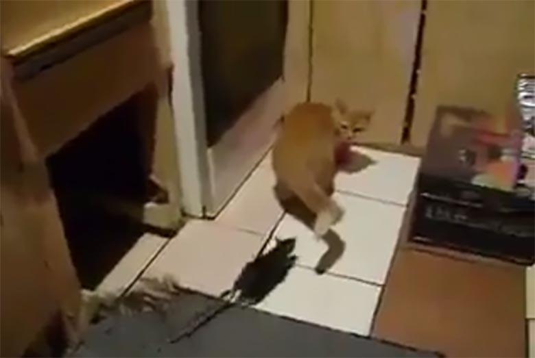 VIDEO: Pooled on vahetunud - vaata, kuidas rott kassi tahab nahka panna
