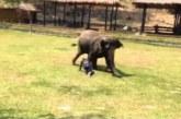 VIDEO: Vaata, kuidas elevant kaitseb enda talitajat