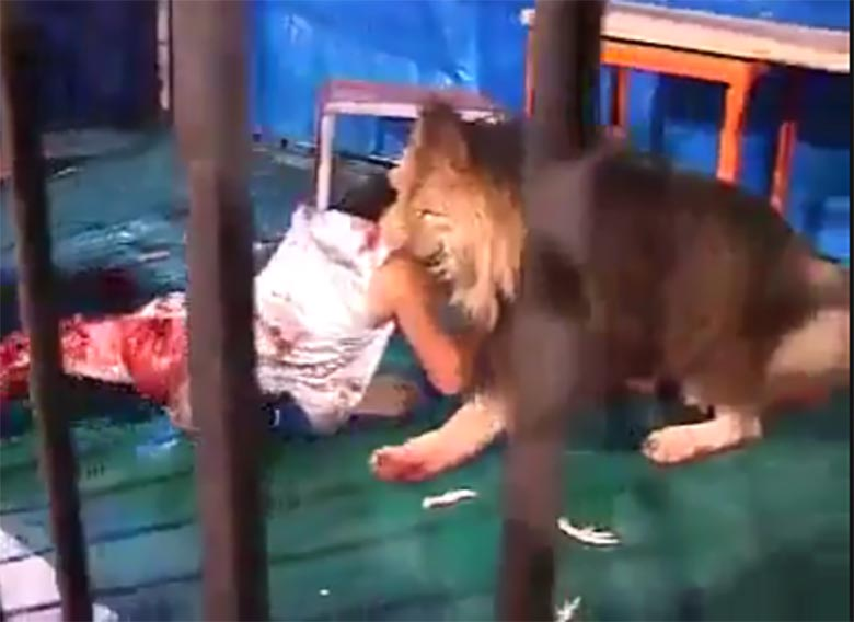 VIDEO: Väga julm - lõvi närib puurist inimest