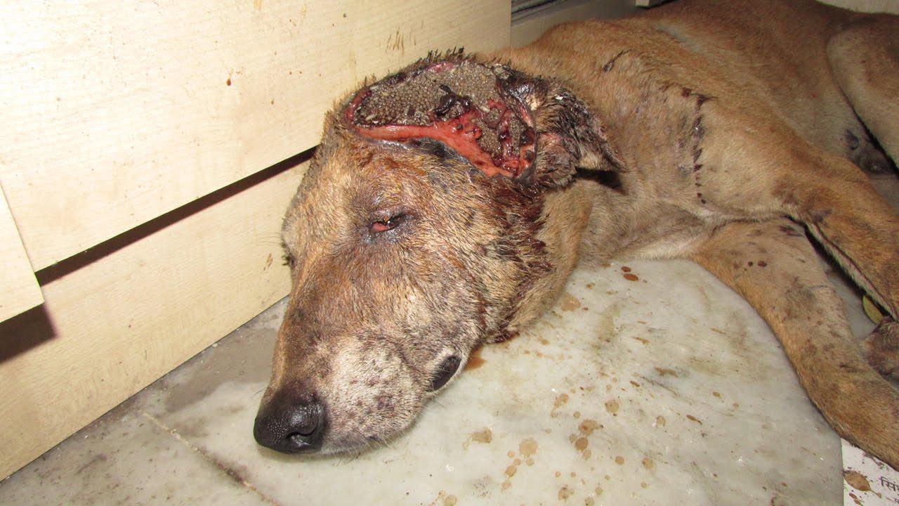 VIDEO: See koer oli jäetud kohutava peahaavaga keldrisse surema...