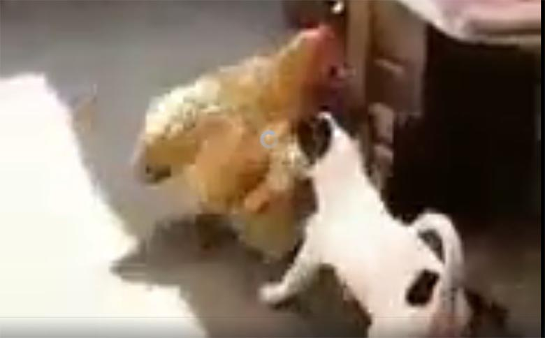 VIDEO: Misasja? Koer viib vägisi kana kuuti ning hakkab kanaga kurameerima...