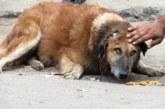 VIDEO: Vana koer leiti jõuetuna tänavalt! Kui nad tema kõrva nägid…