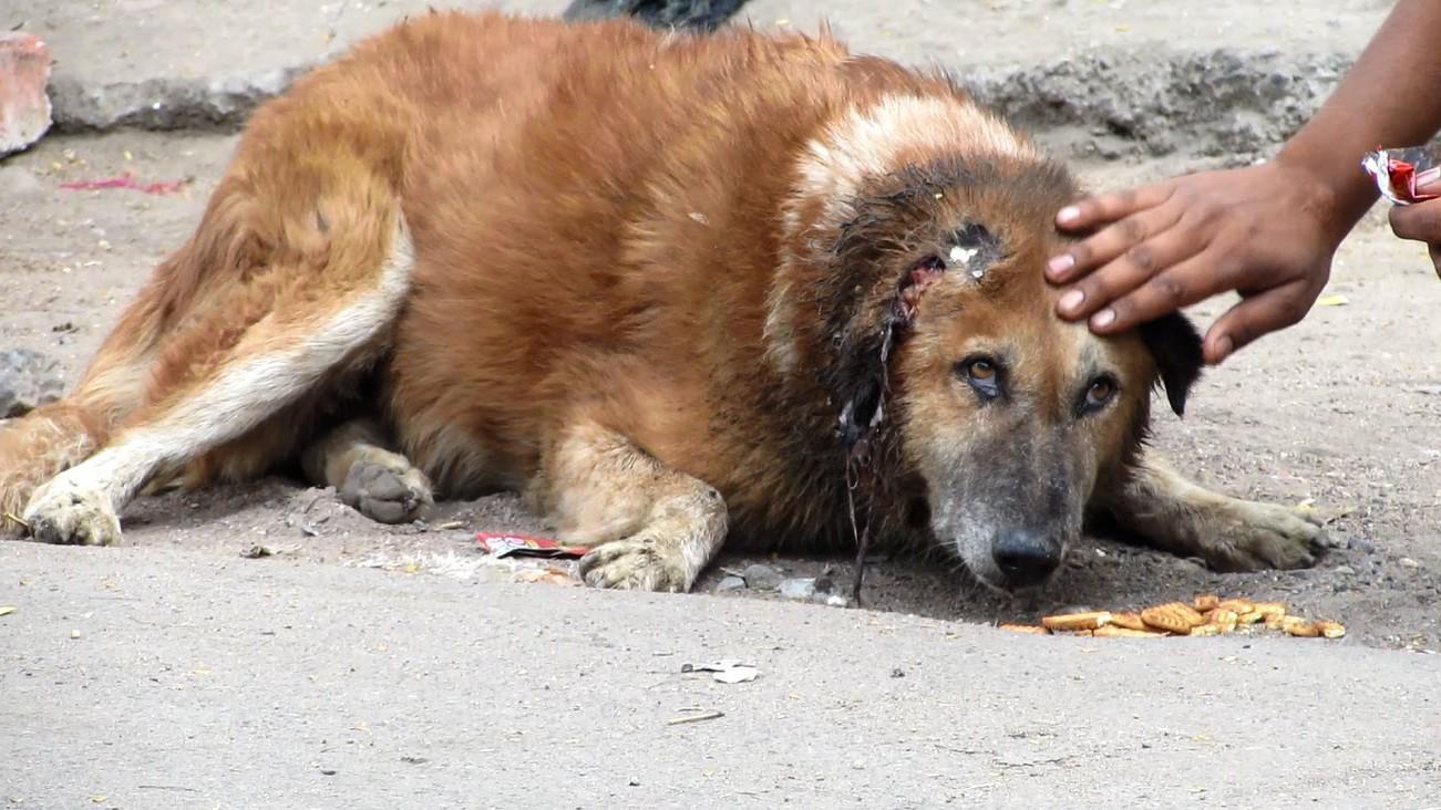 VIDEO: Vana koer leiti jõuetuna tänavalt! Kui nad tema kõrva nägid...