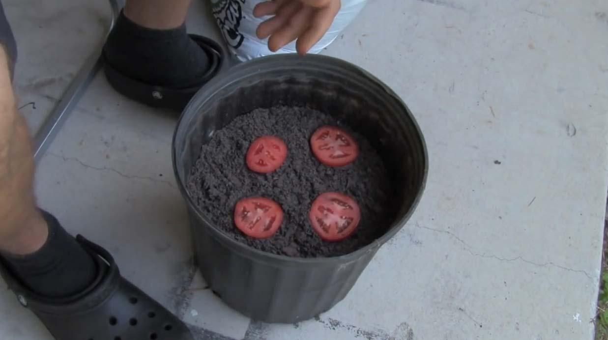 VIDEO: Vaata, kui lihtne on tomateid kodus kasvatada