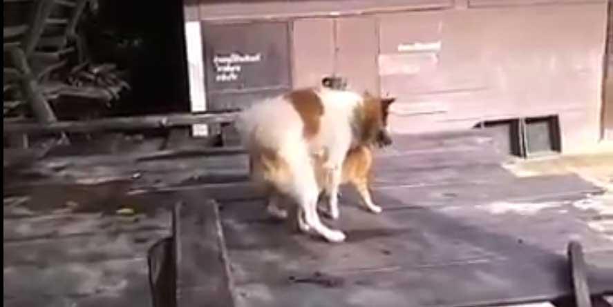 VIDEO: Koer kurameerib kassiga...  ja kass laseb sellel rahulikult sündida