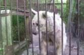 VIDEO: 20 aastat roostetanud puuris elanud karu päästmine – vaata, milline on karu 5 kuud peale päästmist