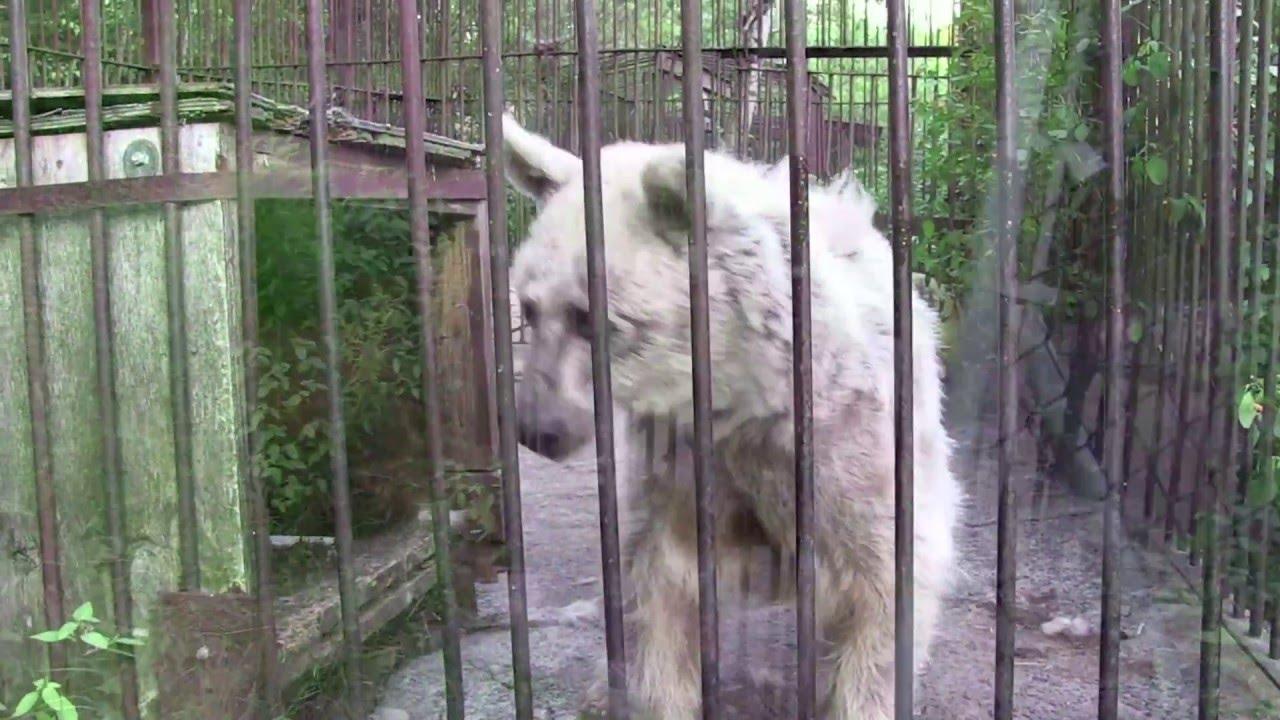 VIDEO: 20 aastat roostetanud puuris elanud karu päästmine - vaata, milline on karu 5 kuud peale päästmist