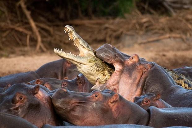 Jõehobud söövad krokodilli.