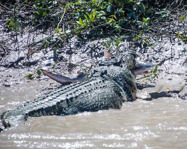 Krokodill sööb haid