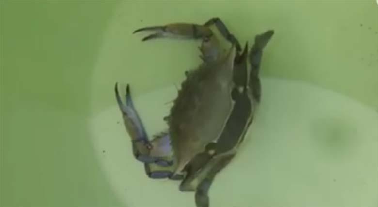 VIDEO: UHH - vaata, mis selle krabiga juhtub