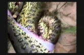 VIDEO: Vaata, mis selle ülisuure surnud anakonda kõhust välja tuleb