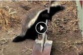 VIDEO: TÕELISELT HÄMMASTAV – mäger põgenes kogu aeg puurist