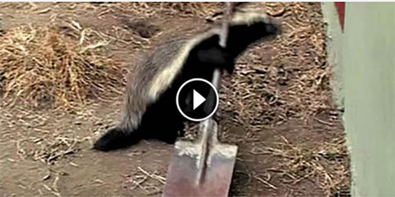 VIDEO: TÕELISELT HÄMMASTAV - mäger põgenes kogu aeg puurist