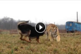 VIDEO: Suur tiiger jookseb koera poole – vaata, mis juhtuma hakkab