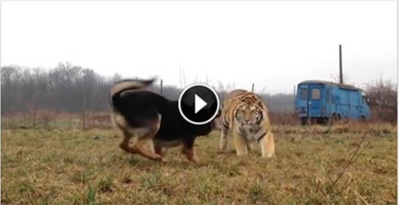 VIDEO: Suur tiiger jookseb koera poole - vaata, mis juhtuma hakkab