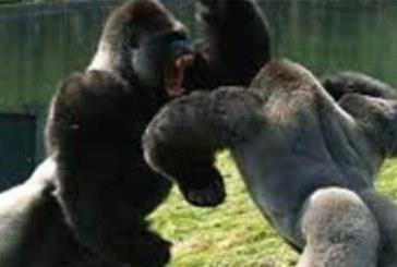 VIDEO: VÕIMAS – vaata, kuidas need kaks gorillat omavahel kaklevad
