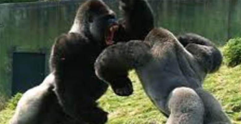 VIDEO: VÕIMAS - vaata, kuidas need kaks gorillat omavahel kaklevad