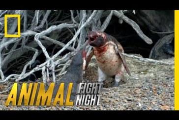 VIDEO: JULM ANDMINE – Pingviin laskus vihasesse löömingusse peale seda, kui leidis petva naise oma pesast