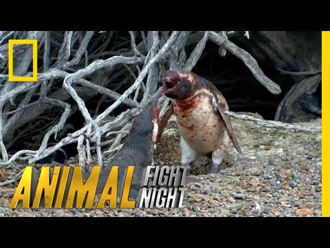 VIDEO: JULM ANDMINE - Pingviin laskus vihasesse löömingusse peale seda, kui leidis petva naise oma pesast