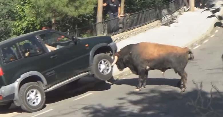 VIDEO: Härg retsib autot – rehvi purustamine ja autol vee välja laskmine ei valmista vähimatki probleemi