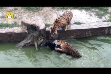 VIDEO: UHHH – EESEL visatakse loomaaias tiigrite kätte