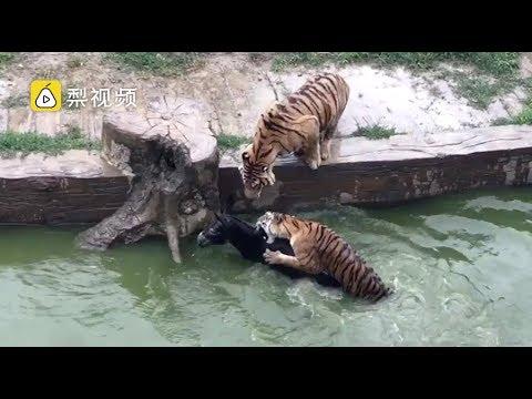 VIDEO: UHHH - EESEL visatakse loomaaias tiigrite kätte