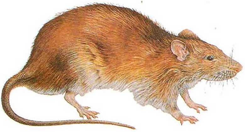 FOTO: INIMESED ON HÄMMINGUS, kui nägid kinni püütud roti suurust