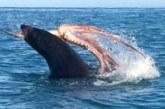 HARULDANE VIDEO, kus võitlevad hüljes ja hiiglaslik kaheksajalg