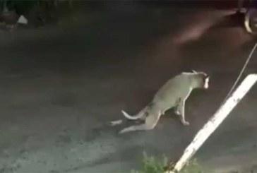 VIDEO: VAATA, MIS selle vigase koeraga juhtuma hakkab