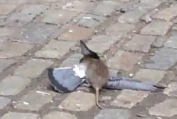 VIDEO: LOODUS ON JULM – VERINE võitlus tuvi ja roti vahel