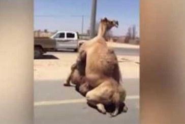 VIDEO: DUBAIS ON KÕIK võimalik – 2 kaamlit kurameerivad keset maanteed