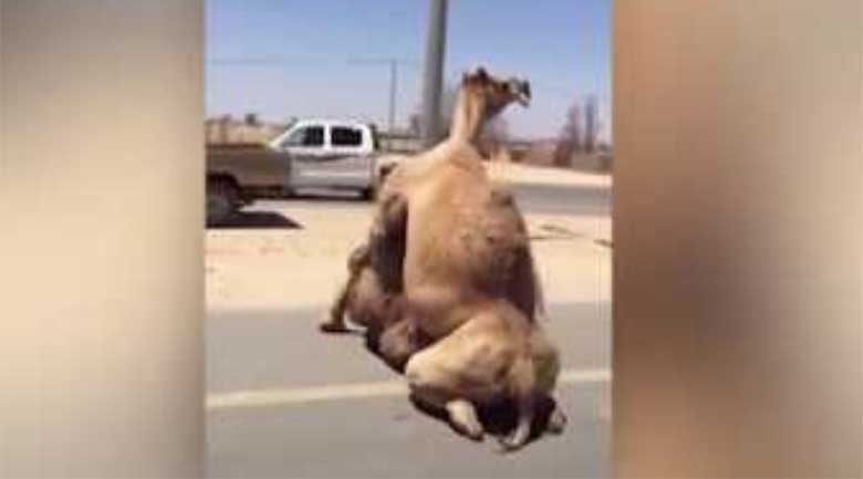 VIDEO: DUBAIS ON KÕIK võimalik - 2 kaamlit kurameerivad keset maanteed