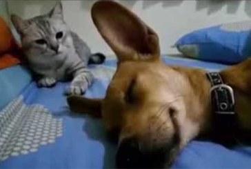 VIDEO: HAHA… KOER magab ja peeretab – vaata, mida kass selle peale teeb