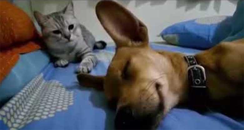 VIDEO: HAHA... KOER magab ja peeretab - vaata, mida kass selle peale teeb