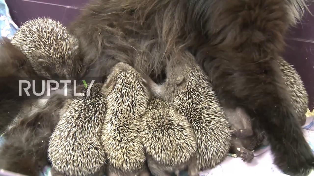 USKUMATU VIDEO - Venemaal Sadgorodi loomaaias hakkas kass hoolitsema orvuks jäänud siilide eest