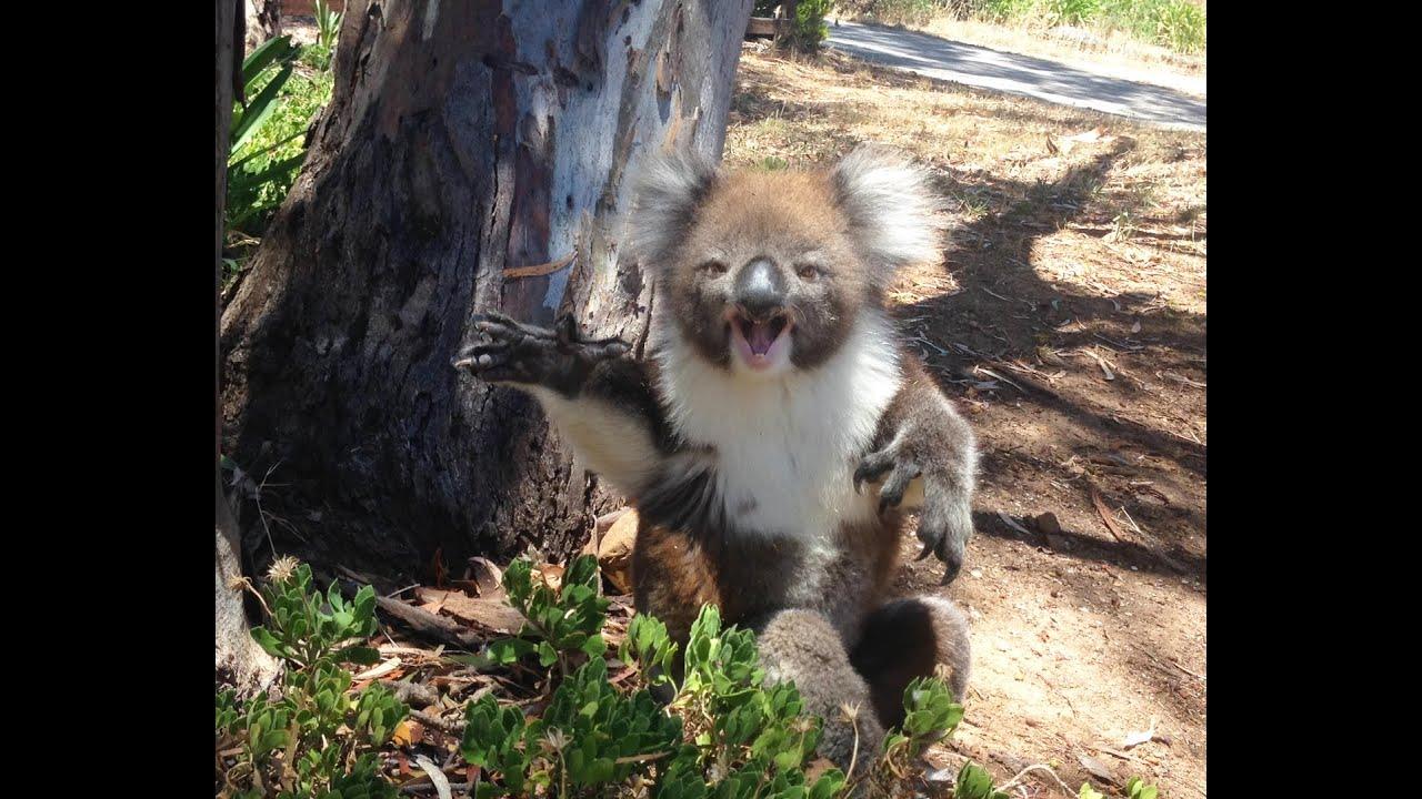 VIDEO: OIOI - KOAALA hakkab nutma, kui natuke tugevam koaala ta puuotsast alla lükkab
