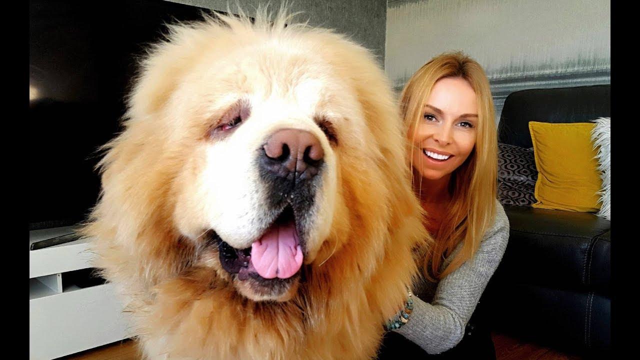 VIDEO: ON alles suurus - maailma kõige kallim koer