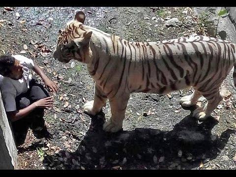 JULM VIDEO: Mees kukub tiigri puuri, mille peale tiiger talt elu võtab