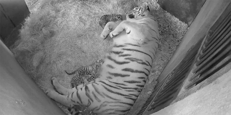 VIDEO: JEEE - Tallinna Loomaaias sündisid Amuuri tiigritel Pootsmanil ja Tanyal järglased …