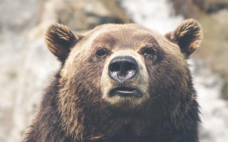 Haavatud karu tungis kallale jahimehele, kes sai raskelt vigastada